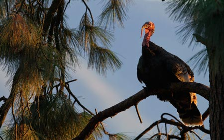 trees does turkey roost